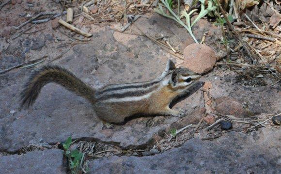 Lizard animal in Zion National